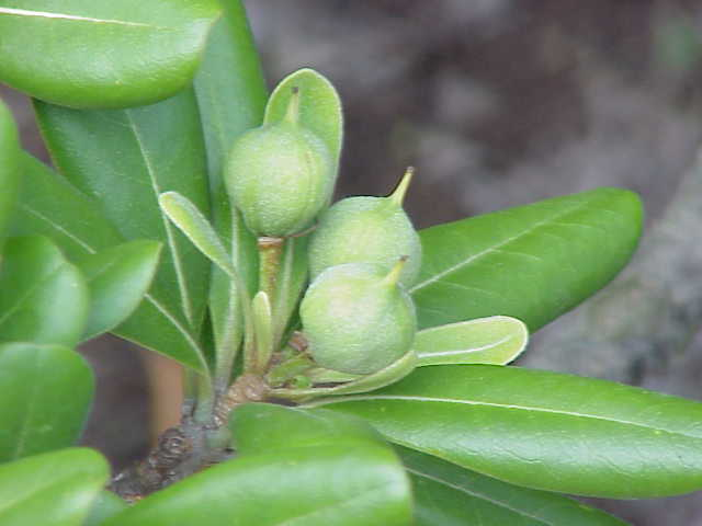 Dehiscent fruits