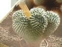 Mammillaria confusa