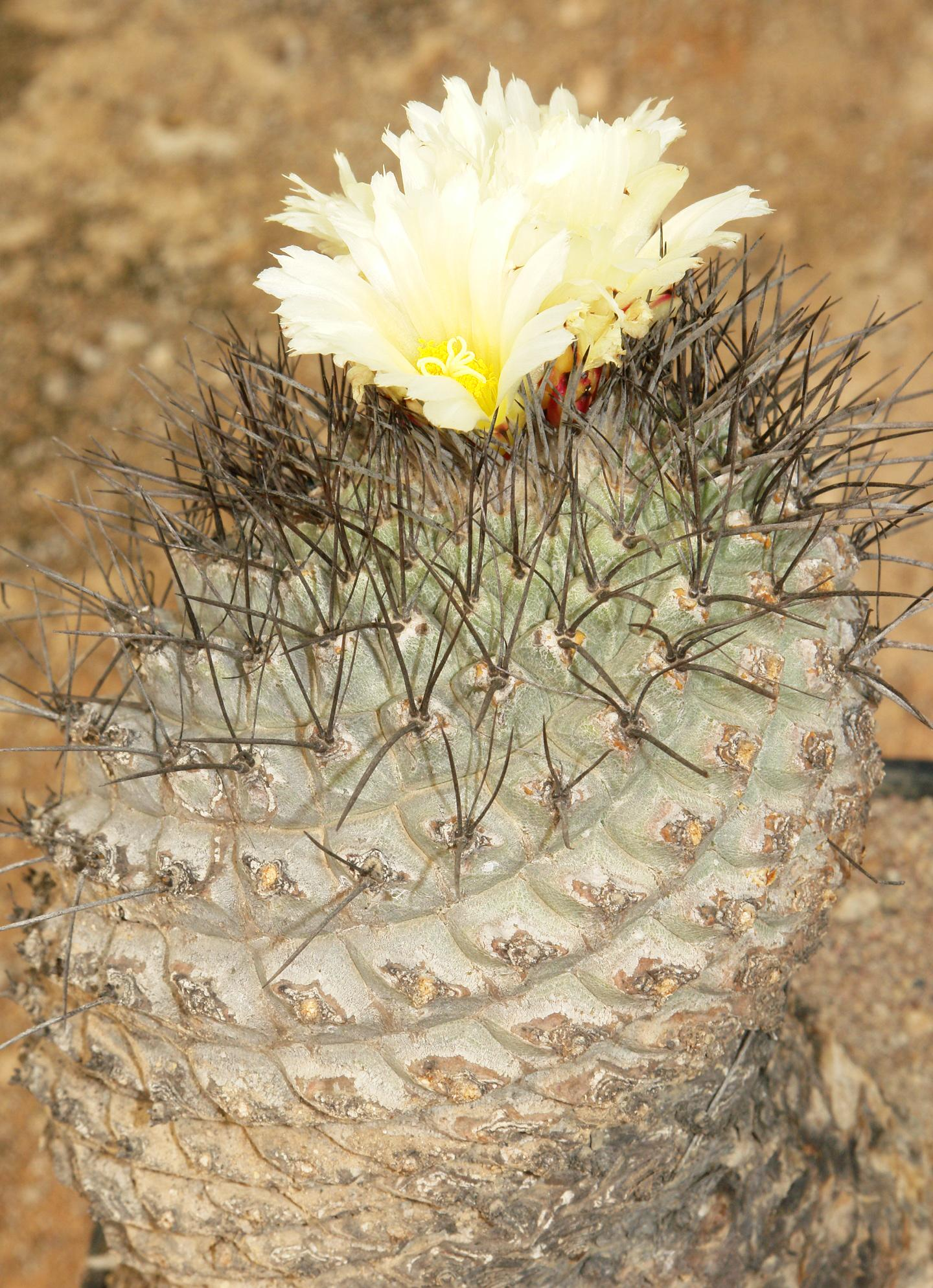 Strombocactus corregiodorae