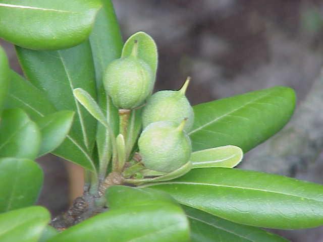 Frutti deiscenti