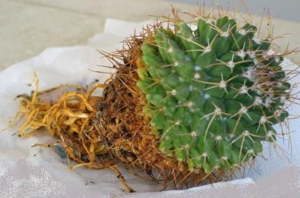 Mammillaria bare roots
